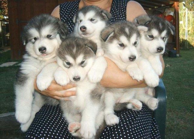 Malamute puppies